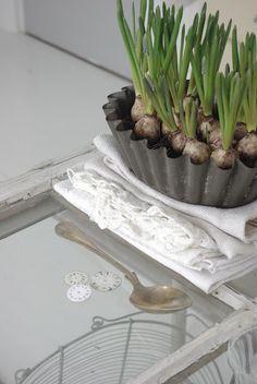 linen and flowering bulbs. fröken