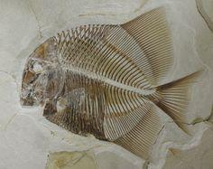 Fossil fish at the Juramuseum Eichstätt