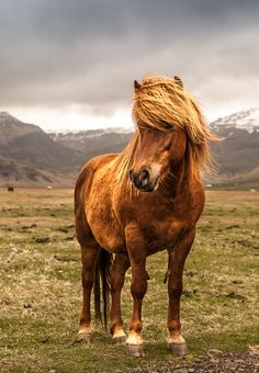 "500px / Photo ""Icelandic horse"" by Ben Freer"