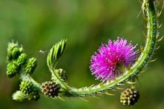 Touch me not plant - Mimosa pudica - uses http://easyayurveda.com/2016/05/20/touch-me-not-plant-mimosa-pudica-lajjalu/