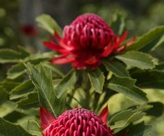 How to pick Australian native plants for your garden Australian Garden Design, Australian Native Garden, Australian Flowers, Drought Tolerant Garden, Garden Screening, Modern Landscaping, Yard Landscaping, Cut Flower Garden, Hardy Plants
