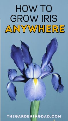 Do you want to grow iris, but didn't think it was possible where you live. Read this article to learn How to Grow Iris ANYWHERE. This is perfect for anyone who wants to grow iris indoors, in pots, or even in raised garden beds. #iris #gardening #diy Vegetable Garden For Beginners, Gardening For Beginners, Gardening Tips, Growing Irises, Growing Plants, Soil Improvement, House Plant Care, Houseplant, Raised Garden Beds