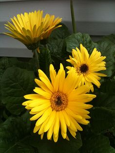 My gerbera daisies blooming for the first time this spring. Yellow Flowers, Beautiful Flowers, Sun Flowers, Nothing But Flowers, Daisy, Bloom Where Youre Planted, Gerber Daisies, Card Box Wedding, Spring Blooms