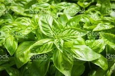 Natural Herb Basil Plant in the Garden royalty-free stock photo