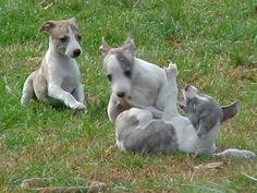 http://yuliss.hubpages.com/hub/whippets-as-family-dogs