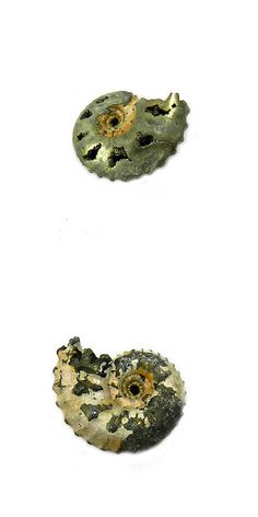 Ammonite 181078: 1Pcs Rare Product 18Mm Russian Pyrite Ammonite Fossil Jewelry Gemstone Gs00838 -> BUY IT NOW ONLY: $34.12 on eBay!