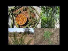 Medicinal Rice P5N Formulations for Pholidota Excess: Pankaj Oudhia's Me...