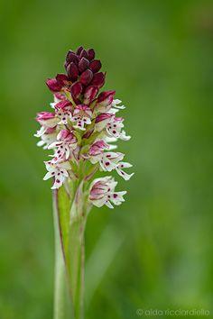 Orchis ustulata by aida ricciardiello on 500px