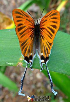 GOLDEN-TAILED HAIRSTREAK BUTTERFLY - Cheritra orpheus orpheus