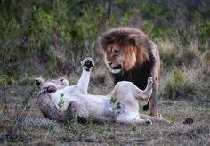 The King and one of his queens play fighting on Gondwana. 📸 Brena Li