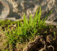 O Filo Anthocerotophyta das Briofitas contem cerca de 100 espécies descritas, sendo o gênero Anthoceros o mais conhecido.O esporófito deste gênero é verde, composto de um pé e uma cápsula que ficam em posição ereta, coberto por uma cutícula. A cápsula é persistente, de vida longa e produz esporos por toda a vida. Secam após a liberação dos esporos. No interior da cápsula encontramos a columela.