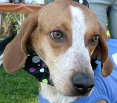 Gabby is an adoptable Hound Dog in Seabrook, NH. Gabby is an outgoing and loveable one year old hound/Retriever mix weighing 60 pounds. She has an easy-going personality and when she's happy she 'smil...