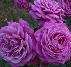 ~Old Port Rose. McGredy NZ. 1991. Floribunda Hybrid Tea Rose. Mauve or purple blend rose with a very strong fragrance.