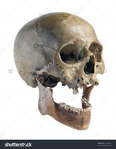 Skull Of The Person Close-Up On A White Background. Стоковые фотографии 55158364 : Shutterstock