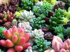 I love colorful succulents! It would be great to have a green roof covered with them some day.