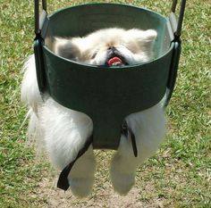 This is the kind of dog I have (a Pekingese) and yes, he is regularly this awesome.  http://pinterest.com/hesscharlotte/