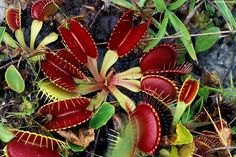 sarracenia in feb | The Carnivorous Plant FAQ: ending comments on cultivation