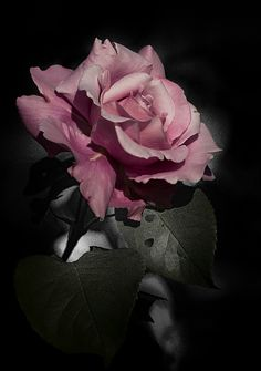 °O° Photo & image by Joëlle Millet ᐅ View and rate this photo free at fotocommunity. Beautiful Rose Flowers, Love Rose, Exotic Flowers, Amazing Flowers, Beautiful Flowers, Rose Images, Flower Images, Flower Art, Wallpaper Nature Flowers