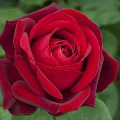 Rosier tige à grandes fleurs rouges très parfumées !