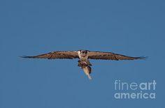 Title  Osprey  Artist  Bahadir Yeniceri  Medium  Photograph