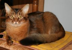 Le somali, est un cousin de l'abyssin à poils longs