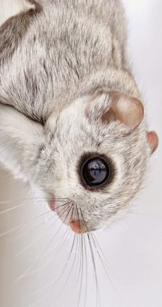 The Japanese dwarf flying squirrel (Pteromys momonga) is one of two species of Old World flying squirrels in the genus Pteromys. It is native to Japan where it inhabits sub-alpine forests and boreal evergreen forests on Honshu and Kyushu islands. Animals And Pets, Baby Animals, Funny Animals, Cute Animals, Squirrel Pictures, Animal Pictures, Japanese Dwarf Flying Squirrel, Flying Squirrel Pet, Most Beautiful Animals