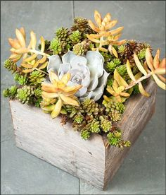 Succulents: Shooting Stars Succulent Garden Box