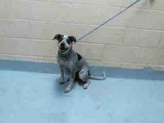 (Tulsa Animal Welfare) Female Heeler mix found 3/27 #A076532
