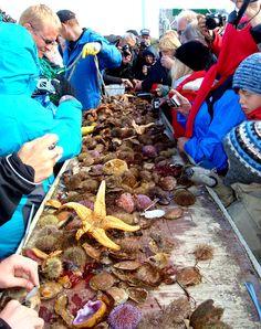 Puffins!! A lovely Boat-trip on Breiðafjörður Bay in Snæfellsnes in West-Iceland - the Viking Sushi Adventure