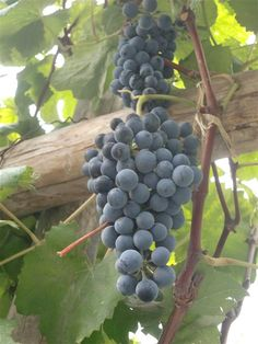 Uvina grape  It is a traditional variety Lunahuaná Valley, belonging to the group of non-aromatic Pisco grapes, has small berries blue-black tone, great bunch and very filling. It's a Vitis aestivales M. - E. cinerea with Vitis vinifera L. It can only grow in the districts of Lunahuana, Pacaran and Zuniga in Cañete, Lima. It has adapted well to conditions of soil and climate of this three districts, where because of the height, variety Quebranta can not be develope.