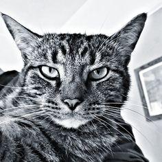Monday! #Bonya #Meow #meowpagecats #allaboutcats #tabbycatsofinstagram #gatto #bengalcross #mainecooncross #bengalmaincoon #Meow #best_meow #bestmeow #bengalmainecoonmix #catsface #mycat #catswhiskers #catseyes #instacat #кот #blackandwhite #blackandwhitephotography