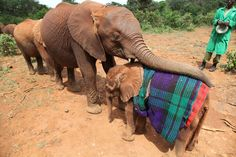 Orphan elephants - the blankets tied around their backs make them feel they are near their mother's tummy!