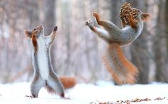 """Go long!"" Photographer Vadim Trunov caught these two squirrels in what looks like a game of catch in Russia."