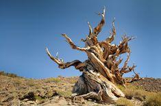 bristle cone pine | Bristlecone Pine Forest