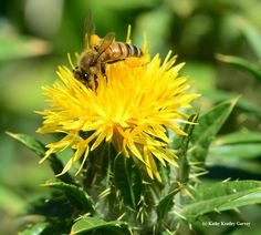 Honey bee foraging on safflower. (Photo by Kathy Keatley Garvey)