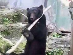 Or the Real Kung Fu Panda? Claude ist eine japanischer Schwarzbär der im Asa Zoo in Hiroshima lebt und sich selbst über die Jahr hinweg beigebracht hat, wie er einen Bo-Stab kunstvoll jonglieren und rotieren lassen kann. Sehr beeindruckend! AUCH INTERESSANT: Filter by Post type Post Page Category Sort by Title Relevance Mama Waschbär lehrt [ ]