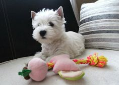 Beautiful Baby Westie.... from a FB account (Please Do Not Change This)