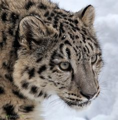 Young Snow LeopardbyDaniel Münger