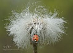 #nature Ladybug on Dandelion Puff-ball by ikord