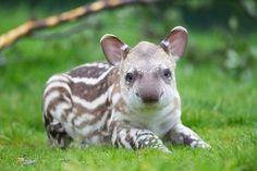 Adorable baby tapir