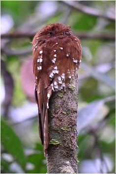 Urutau-ferrugem, uma das aves da Boca do Acre.