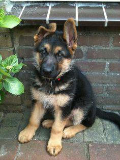 German Shepherd :)