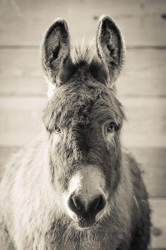 Heidi Sisu Lindstrom ~ Only Donkeys