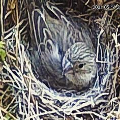 I put the fern out and I have a squatter and three egg babies. #bird #birds