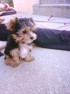 :) my yorkie puppy