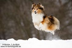 Sheltie...Im pretty sure Wade would be perfectly fine with me just showing up with one of these cuties one day! :)