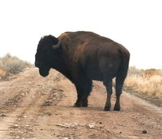 Bison - Please don't judge me, but there is something attractive about bison!