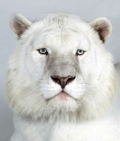 Kaylash, an eight-year-old male snow white Bengal tiger. Photograph: Barry Bland / Barcroft Media. °