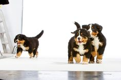 February 12, 2014 - There is Always One... - Bernese Mountain Dog Puppies  2014©Barbara O'Brien Photography