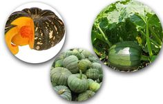 Pumpkin is one of the favorite vegetables in the world. The Identification, Nutrition Value and varieties has been described on the post very deeply.......